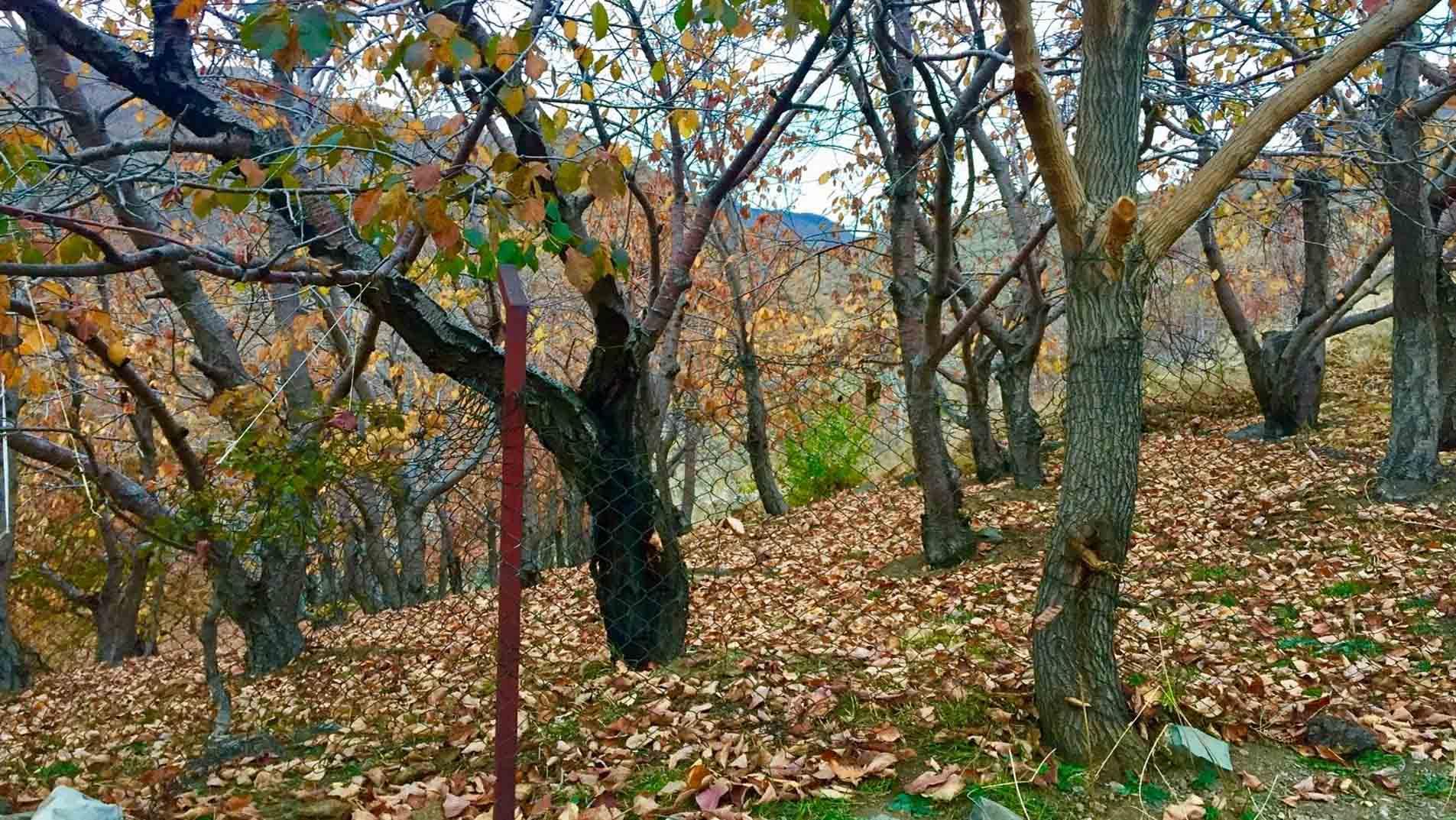 درخت گردو 3 صنایع چوبی آنلاین