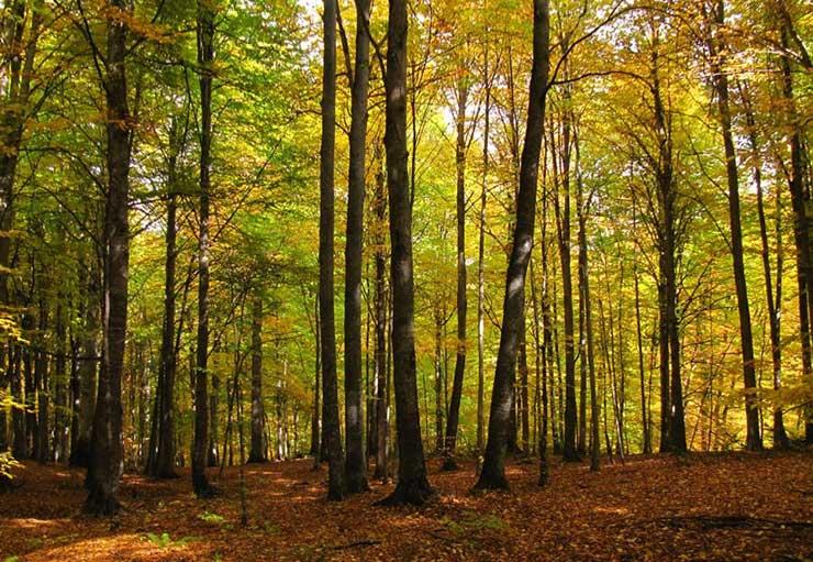 جنگل راش مازندران صنایع چوبی آنلاین - چوب درخت راش - ویژگی ها و استفاده