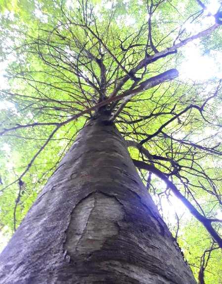 عکس چوب راش صنایع چوبی آنلاین - چوب درخت راش - ویژگی ها و استفاده