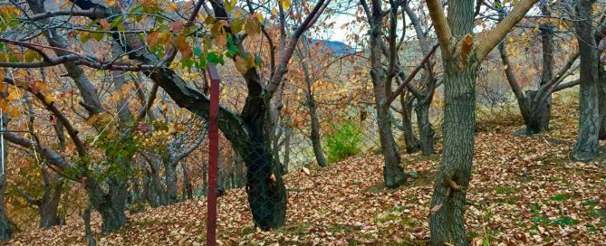 درخت گردو 3 صنایع چوبی آنلاین 669x272 - چوب درخت گردو-ویژگی ها و استفاده